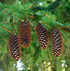 Fir Cones - Picea Abies ( Christmas Tree ) (Rob Jennings2) Tags: christmastree piceaabies tree fircone