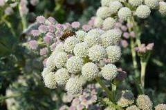 Denver Botanic Garden   2018.08.07   DSC_0051 (Kaemattson) Tags: denverbotanicgarden denver co colorado denverbg denvergarden garden august summer milehighcity