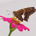 Silver-spotted skipper on pink zinnia thumbnail