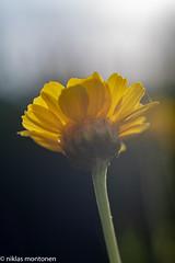@ Garden - Explored (aixcracker) Tags: flower blomma kukka garden trädgård puutarha porvoo suomi borgå finland nikond500 macro makro närbild lähikuva summer sommar kesä augusti august elokuu
