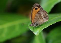 Papillon (Pittou2) Tags: luc nx nx30 samsung france pittou2 byluc butterfly lesinsectesenfolie les insectes en folie insecte papillon feuille