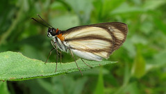 Vettius marcus (Over 4 million views!) Tags: butterfly hesperiidae panama vettiusmarcus butterflies insect