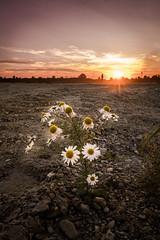 Light princess (Bauer Florian) Tags: sony ilce7rm2 fe 1635mm f4 za oss nature gänseblümchen daisy landscape sunset natural light ngc