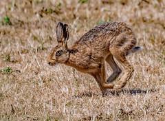 DSC9114  Brown Hare.. (jefflack Wildlife&Nature) Tags: brownhare hare hares animal animals wildlife wildlifephotography farmland fields heathland hedgerows heathlands heaths heath moorland moors grasslands jefflackphotography countryside nature