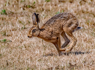 DSC9114  Brown Hare..