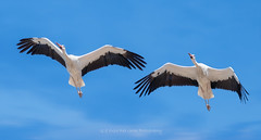 Seville Storks (Red Gecko Photography) Tags: white storks seville andalucia spain flying thermals gliding bif birds large