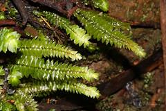 Small fern shoots (Robyn Waayers) Tags: fern ferns greatotwaynationalpark victoria australia robynwaayers
