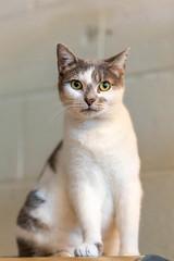 javacatscafe12Aug20180219.jpg (fredstrobel) Tags: javacafecats javacatscafe pets atlanta animals usa cats places ga georgia unitedstates us