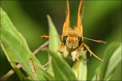 Face to Face With a Skipper (muledriver) Tags: skipper butterfly butterflies insects macro nature