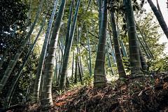 The one that leans (Melissa Maples) Tags: batumi batum ბათუმი adjara აჭარა georgia gürcistan sakartvelo საქართველო asia 土耳其 apple iphone iphonex cameraphone მწვანეკეპი mtsvanecape ბოტანიკურიბაღი botanicalgarden bamboo trees forest