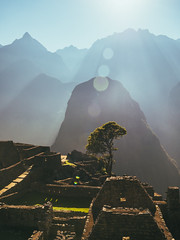 The only tree in Machu Picchu