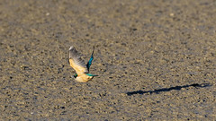 Kingfisher (DanD_NZ) Tags: birds newzealand nikkor200500mmf56 nikond500 bif miranda kingfisher