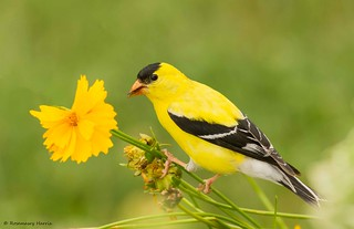 American Goldfinch Male Eating Seeds.