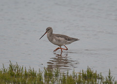 Spotted Redshank 12-08-2018-6561 (seandarcy2) Tags: birds wildlife uk minsmere spotted waders rspb redshank