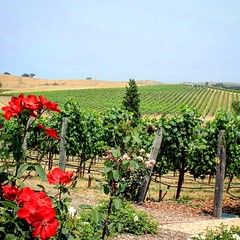 Napa Valley (moniquef123) Tags: winecountry vineyard california flowers red green nature landscape