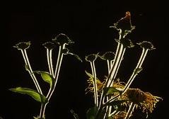Back-lit Innula..x (Lisa@Lethen) Tags: giant flower stems hairy light backlit nature garden summer innula