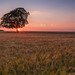 Lone Tree Sunset 2 (THE NUTTY PHOTOGRAPHER) Tags: lonetree tetbury gloucestershire crops sunset sunsets silhouettes