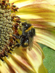 Bumble bee on a sunflower (Nanooki ʕ•́ᴥ•̀ʔっ) Tags: ©suelambertlrpscpagb bee insect sunflower closeup macro pollen