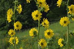 Compass Plant (pchgorman) Tags: compassplant silphiumlaciniatum taxonomy:binomial=silphiumlaciniatum silphium asteraceae pleasantvalleyconservancy danecounty wisconsin july prairies flowers calendar2019