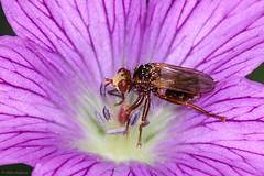 Ferruginous Bee-grabber (Sicus ferrugineus), female (Allan Hopkins) Tags: gilwern monmouthshire wales gbr allanhopkins hoppy1951 uk mygarden ferruginousbeegrabber sicusferrugineus female fly diptera