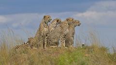 5 out of 5 - bingo (John Kok) Tags: kenya masaimara enaidura july2018 cheetah acinonyxjubatus nikkor20050056evr2