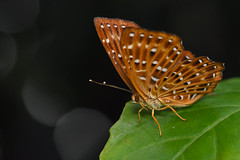 Punchinello -  May 2018 - 1 (Gomen S) Tags: animal wildlife nature hongkong hk china asia tropical 2018 afternoon spring forest 105mmmicro d500 nikon insect butterfly