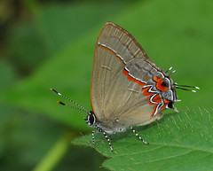 Calycopis isobeon (Over 4 million views!) Tags: butterfly calycopisisobeon lycaenidae panama butterflies insect