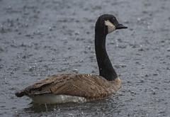 The Rain (Rainfire Photography) Tags: canada goose rain scarborough bluffs toronto ontario nikon bird nature wildlife cof039dmnq