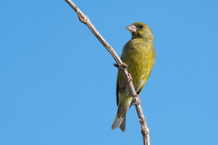 Greenfinch on the Naze (pstani) Tags: carduelischloris chlorischloris england essex essexwildlifetrust europe fringillidae greatbritain thenaze waltononthenaze wildlifetrust bird chloris fauna finch greenfinch