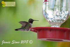 Broad-tailed Hummingbird (ironekilz) Tags: chatfieldstatepark
