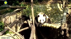 2018_07-27c (gkoo19681) Tags: beibei chubbycubby fuzzywuzzy adorableears treattime sugarcane disappointment brighteyed wishing toocute sillygoober toofunny beingadorable posing beinggood amazing sunkissed precious comfy ccncby nationalzoo