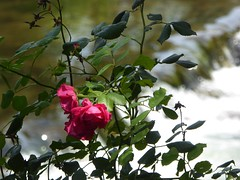 rose dell'Alt Empordà (fotomie2009) Tags: catalogna catalunya cataluña spain españa espanya flower fiore flora rosa rose red bokeh boadella muga river cascata waterfall