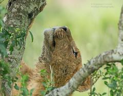 """Fig Tree Pride"" Lion cub - Panthera leo. (rosebudl1959) Tags: 2018 kenya masaimara zebraplainsmaracamp talekriver figtreepride lion"