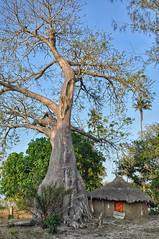 Dwarfed by a baobab