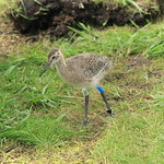 WE-GT-2018 Project Godwit chick BB-WL(E)2