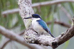 Forest Kingfisher D4A7297.jpg (BobLewis) Tags: papuanewguinea birds variratanp 092kingfishers centralprovince pg forestkingfisher todiramphusmacleayii