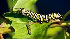 Big Brother takes Junior out for lunch (Bob's Digital Eye) Tags: bobsdigitaleye canon canonefs55250mmf456isstm depthoffield flicker flickr july2018 macro monarch monarchcaterpillar t3i yellow