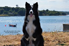 The smile is the beginning of Love (ASHA THE BORDER COLLiE) Tags: smile border collie inspirational quote mother teresa portaferry dog ashathestarofcountydown connie kells county down photography