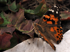 big butterfly Count 2018 (part 1) (Johnson Cameraface) Tags: 2018 august summer olympus omde1 em1 micro43 mzuiko 60mm macro f28 johnsoncameraface big butterfly count bigbutterflycount paintedlady
