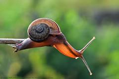 SLOW & STEADY (GOPAN G. NAIR [ GOPS Creativ ]) Tags: gopsorg gopangnair gops gopsphotography gopan photography snail green greenery india