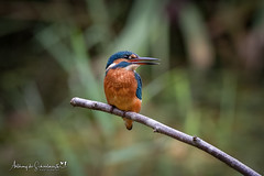 Fishing in the Rain (Anthony de Schoolmeester) Tags: kingfisher female bird birds waterbirds water perched forestfarm wildlife wildbird wildlifephotography nature naturephotography