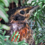 American Robin juvenile thumbnail
