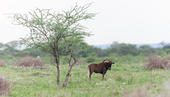 Black wildebeest. (annick vanderschelden) Tags: otjiwarongo antelope mammal nature wilderness blackwildebeest whitetailedgnu connochaetesgnou herbivore namibia