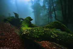 The Rebirth of the Forest (Hector Prada) Tags: bosque forest niebla fog fallen musgo moss árbol tree mushrooms hongos leaves hojas spring primavera paísvasco basquecountry