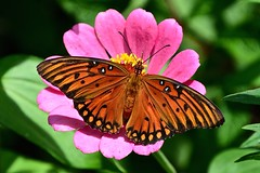 Gulf Fritillary (2 of 3) on Zinnia (deanrr) Tags: butterfly outdoor nature morgancountyalabama butterflyonflower zinnia gulffritillary fritillary 2018 summer macro insect