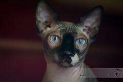 Gollum (JadeNoire - Interlude Photo) Tags: chat sphinx nu nikon d7100 regard cat nudecat insolite