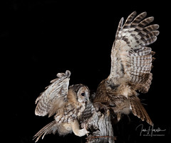 Tawny Owl and Owlet (Ian howells wildlife photography) Tags: ianhowells ianhowellswildlifephotography inflight nature naturephotography nationalgeographic night unitedkingdom wildlife wildlifephotography wales wild wildbird wildbirds tawnyowl tawny owl owlet