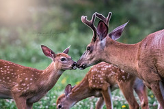 Buck and Twins (Jenna.Lynn.Photography) Tags: whitetail twins fawn buck deer animals naturephotography wildlife wildlifephotography canon dof august natur