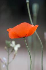 Gentil coquelicot, mesdames! (Lylise) Tags: coquelicot papoila printemps spring primavera red rouge vermelho fleur flor flower