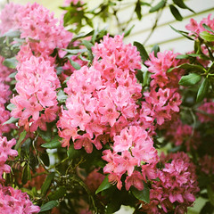 Rhododendrons (Andrew H Wagner   AHWagner Photo) Tags: thefindlab grain grainy filmgrain analog film filmshooters find filmphotography analogfilm colorflm colorfilmnegative negativefilm 120film 120format mediumformat fuji400h fuji400hpro fuji 400h 400hpro yashicamat124g yashica 124g tlr 6x6 rhododendrons flowers bokeh dof